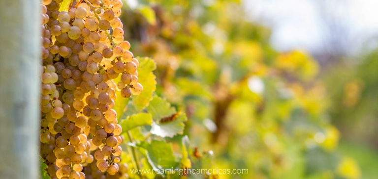 Ripe clusters of grapes in a vineyard in the Finger Lakes, New York