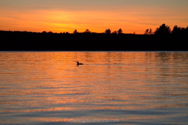 Loon on a lake with sunset during the summer in Maine