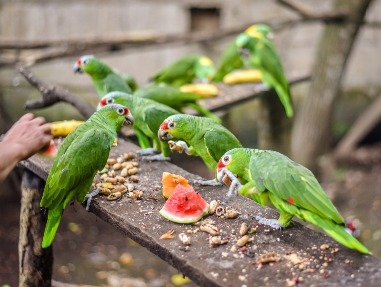 Rescued parakeets eating watermelon at a Spanish school in Nicaragua