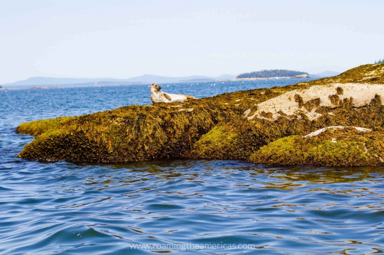 Seal sunbathing on the rocks off the coast of Stonington, Maine