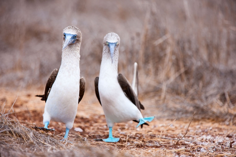 Two blue-footed boobies on Galapagos Islands in Ecuador