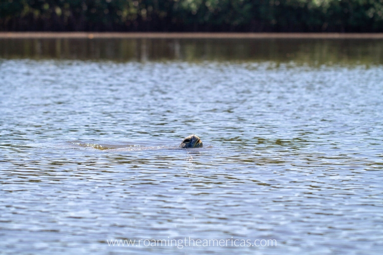 Sea turtle coming up for air in a river in El Paredon, Guatemala