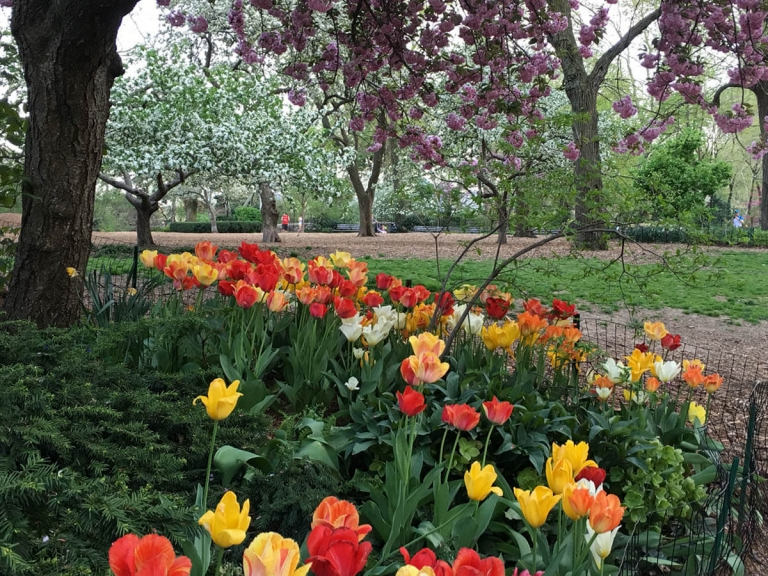 Tulips and a flowering tree over a path in Carl Schurz Park in New York City