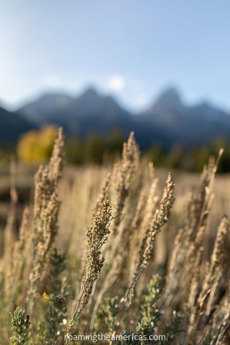 Tall grass in focus in the foreground and Teton Mountains in the background